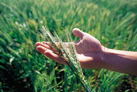wheat;grain;grains;food;agriculture;farm;farming;crop;crops;cropping;health;healthy;growing;crop;cropping;harvest;harvesting;rural;farm;farming;agriculture;cereal;cereals;bread;flour;farmer;farmers;holding wheat;holding wheat in hands;hands holding wheat;freshly picked wheat;examining;examining wheat;hand;hands;hands holding;hand holding;caucasian;caucasian hand;caucasian hands;green;greens;colour green;color green;