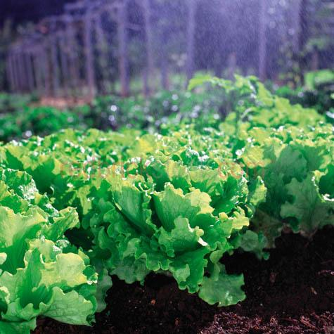 lettuce crop growing fresh agriculture agricultural farm farming