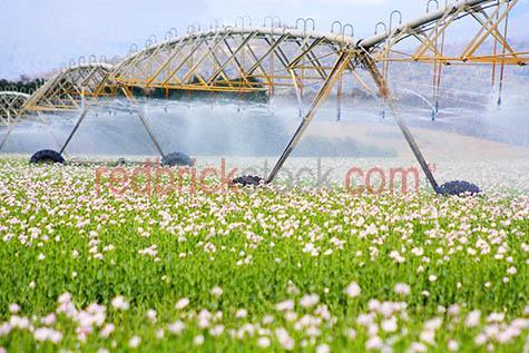 poppy;poppies;farm;farming;irrigation;horticulture;water;watering;crop;crops;opium