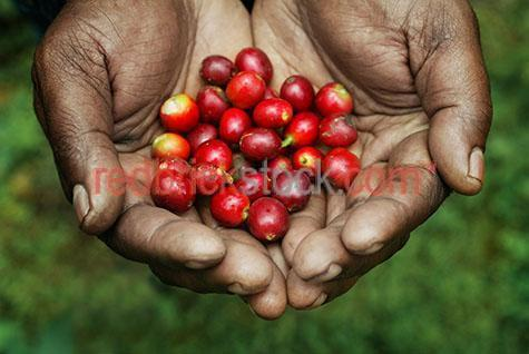 coffee beans hand hands hold holding red bean agriculture agricu