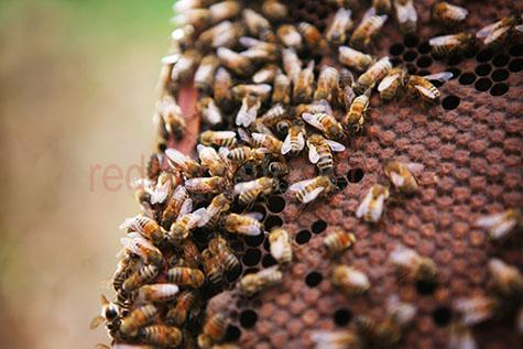 bee;bees;honey bee;honey bees;insect;insects;honey;honeycomb;honey comb;comb;combs;hive;hives;beehive;beehives;apiary;apiaries;worker bee;worker bees;wax;cell;cells;colony;colonies;outdoor;outdoors;agriculture;agricultural;farm;farms;farming;apiculture;selective focus;frame;frames