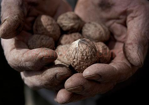 nut;nuts;hand;hands;harvest;harvests;harvested;produce;handful of walnuts;waltnut;walnuts;wal nuts;wal nut;weathered hands;weathered hand;hard work;hard worker;hard working hands;workers hands;farmers hands;damaged hands;holding walnuts;holding walnut;mans hands;mens hands;adults hands;food;nutrition;shell;shells;nutshell;nutshells