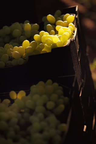 grapes;green grapes;seedless grapes;freshly picked grapes;wine grapes;harvest;harvesting;grape picking;crop;vineyard;vineyards;box of grapes;backlit;backlighting;selective focus;fruit;bunch;ripe;ripened;market;markets;fruit;fresh fruit;sweet;close-up;closeup;textspace;text space;copy space;copyspace;wa;western australia