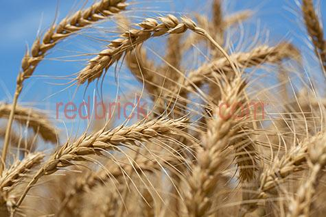 wheat;wheats;crop;crops;cropping;wheat crop;wheat crops;wheat cropping;cropping wheat;agriculture;agricultural;agricultural industry;agricultural industries;farming industry;farming industries;australian agricultural industry;australian agricultural industries;australian farming industry;australian farming industries;industry;industries;farm;farms;farming;australian farm;australian farms;australian farming;on farm;at farm;plantation;plantations;wheat plantation;wheat plantations;wheat plant;wheat plants;harvest;harvests;harvesting;harvested;wheat harvest;wheat harvests;wheat harvesting;harvesting wheat;harvested wheat;grow;grows;growing;growth;wheat growing;wheat growth;field;fields;wheat field;wheat fields;crop field;crop fields;what crop field;wheat crop fields;blue sky;blue skies;clear sky;clear skies;clear blue sky;clear blue skies;sky;skies;against blue sky;macro;macro photography;country;country setting;country settings;australian country;rural;rural area;rural areas;rural setting;rural settings;rural australia;regional;regional australia;food;foods;produce;close-up;close-ups;close up;close ups;closeup;closeups;close-up view;close-up views;closeup view;closeup views;close-up views;close-up views;close up views;closeup views;copyspace;copy space;textspace;text space