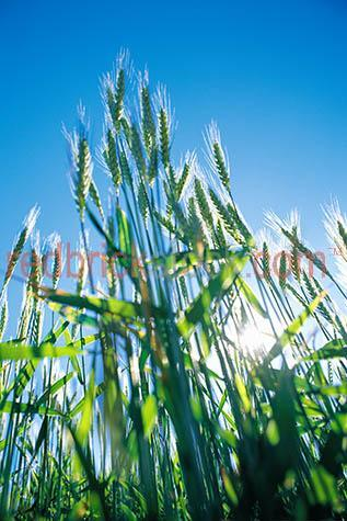wheat agriculture farm farming health healthy food foods grain g