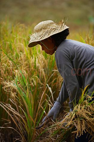 rice;rices;rice growing;rice growing in field;rice farming;rice grass;grain;grains;bali;balinese;indonesia;indonesian;ubud;harvest;green grass;grasses;shoots;asia;south east asia;asian;crop;crops;cropping;crops;harvesting;rice harvest;harvests;farm;farms;farming;farming industry;farming industries;agriculture;agricultural;plant;plants;plantation;plantations;farmland;farmlands;farm land;farm lands;rural;plantation;plantations;paddy;paddys;paddies;farmer;farmers;villager;villagers;work;works;working;worker;workers;labour;labourer;labor;laborer;woman;women;one person;one woman;one lady;ladies;sickle;sickles;people;person;straw hat;straw hats;bolo;bolos;bolo knife;bolo knives;tool;tools