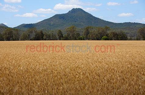 wheat crop;wheat farm;south east queensland;south east qld;australian wheat crop;wheat crops;agriculture;peak crossing farm;wheat farms;grain;grains;grain farm;grain farms;crops;grain crop;grain crops;wheat cultivation;cultivating;healthy crop;drought free;wheat grains;wheat production;growing wheat;organic wheat;organic wheat farm;australian wheat;wheat field;fields of wheat;wheat cropping;cropping
