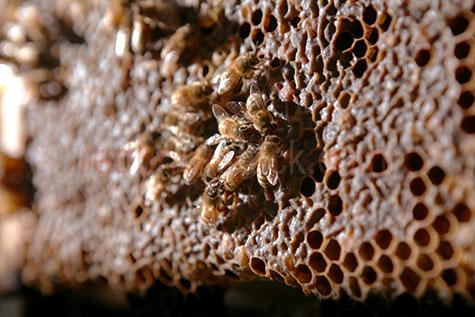 bee;bees;honey bee;honey bees;insect;insects;honey;honeycomb;honey comb;comb;combs;hive;hives;beehive;beehives;apiary;apiaries;worker bee;worker bees;wax;cell;cells;colony;colonies;agriculture;agricultural;farm;farms;farming;apiculture;selective focus;frame;frames