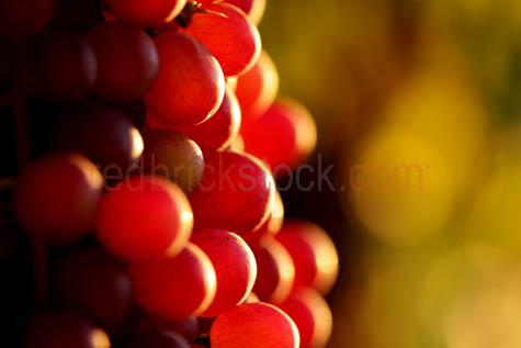grapes;red grapes;wine grapes;vine;vines;crop;growing;harvest;harvesting;grape picking;vineyard;vineyards;backlit;backlighting;selective focus;fruit;bunch;ripe;ripened;fruit;fresh fruit;sweet;close-up;closeup;textspace;text space;copy space;copyspace;wa;western australia;MG_0032