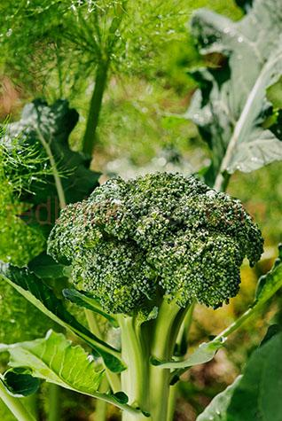 broccoli;brassica oleracea;Calabrese cultivar;home grown;market;markets;garden veggies;home grown;organic;produce;fresh produce;home grown produce;veg;veggie;vegetables;vegetable;fresh;healthy;health;veggies;harvest;harvested;broccoli;raw;fresh food;fresh vegetables;fresh broccoli;fresh vegetable;garden fresh;farmers markets;market food;veggie patch;vegetable patch;vegetable garden;vegetable gardens;veggie patches;green;greens;colour green;color green