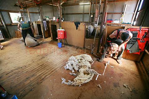 sheep;sheeps;animal;animals;mammal;mammals;shearing;shear;shears;clip;clips;clipping;clipper;clippers;sheep-shearing;shearer;shearers;sheared;flock;flocks;wool;wools;wooly;shorn;merino;export;exports;outback;out back;rural;australia;australian;aus;oz;farm;farms;farming;farmer;fleece;fleeces;shearing shed;shearing sheds;indoors;indoor;inside;machine shearing;equipment;tool;tools