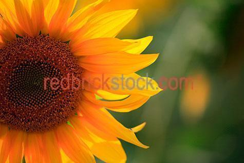 sun flowers;sun fower;sunflower;sunflowers;flowers;flower;crop;field;fields;agriculture;agricultural;farm;farms;farming;yellow;crops;helianthus annuus;big sunflower;sunflower seed;sunflower seeds;seed;seeds;cropping;ready for harvest;harvesting;sunflower farm;sunflower farms;plant;plants;cropping;harvest;harvests;harvesting;produce;fresh produce;farm;farms;farming;farming industry;farming industries;commercial farming
