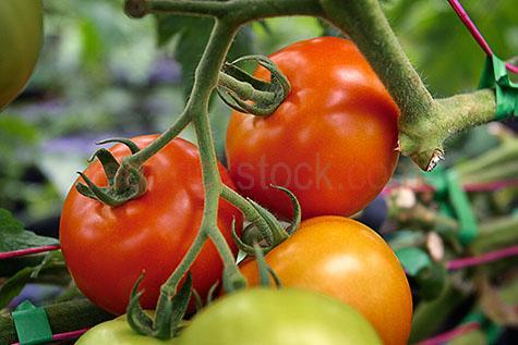 tomatoes;tomato;fresh;fresh tomato;fresh tomatoes;vine tomatoes;vine tomato;vine ripe;vine ripened;vine ripened tomatoes;vine ripened tomato;truss tomatoes;truss tomato;truss;healthy;healthy food;healthy foods;food;foods;vegetable;vegetables;veggies;veg;fresh vegetables;healthy diet;healthy diets;healthy living;wholesome;wholesome food;wholesome foods;good food;good foods;fruit and vegetables;fruit;fruits;produce;fresh produce;ingredient;ingredients;salad;salads;freshness;raw;uncooked;stem;stems;with stems;garden;gardening;home grown;home gardening;close-up;close-ups;close-up's;close up;close ups;close up's;close-up view;close-up views;close-up view's;close up view;close up views;close up view's