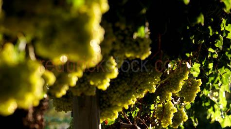 grapes;green grapes;wine grapes;vine;vines;crop;growing;harvest;harvesting;grape picking;ripe;ripened;ripening;vineyard;vineyards;backlit;backlighting;selective focus;fruit;bunch;bunches;fruit;fresh fruit;sweet;close-up;closeup;wa;western australia;MG_0320