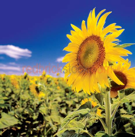 sun;flowers;flower;crop;field;agriculture;farm;farming;yellow;
