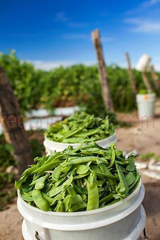 farm;farms;farming;farmland;farm land;agriculture;agricultural;agriculture industry;snowpea;snowpeas;snow pea;snow peas;sugar snap pea;sugar snap peas;crop;crops;snowpea crop;snowpea crops;snow pea crop;snow pea crops;harvest;harvests;harvesting;harvesting crop;harvesting crops;harvesting snowpeas;harvesting snow peas;australia;australian;aus;bundaberg;queensland;qld;agriculture;copyspace;copy space;textspace;text space;fresh;fresh produce;fresh snowpeas;fresh snow peas;fresh vegetables;vegetable;vegetables;veggie;veggies;veg;freshly picked;freshly picked snowpeas;freshly picked snow peas;close-up;close-ups;close up;close ups;closeup;closeups;close-up view;close-up views;closeup view;closeup views;close-up views;close-up view's;close up views;closeup views;bucket;buckets;bucket of snowpeas;buckets of snowpeas;bucket of snow peas;buckets of snow peas;blue sky;blue skies;fence;fences;fence post;fence posts;post;posts