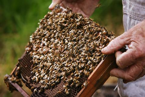 bee;bees;honey bee;honey bees;insect;insects;honey;honeycomb;honey comb;comb;combs;hive;hives;beehive;beehives;apiary;apiaries;worker bee;worker bees;wax;cell;cells;colony;colonies;beekeeper;beekeepers;apiarist;apiartists;hand;hands;caucasian;agriculture;agricultural;farm;farms;farming;farmer;farmers;apiculture;selective focus;frame;frames;close up;close ups;close-up;close-ups