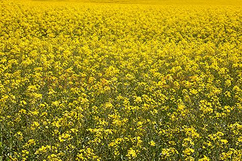 canola;canola crop;canola crops;plant;plants;canola plant;canola plants;plantation;plantations;canola plantation;canola plantations;flowers;agriculture;agricultural;agricultural industry;crop;crops;cropping;farmland;farm land;farmlands;farm ladns;farming;farm;farms;canola farm;canola farms;canola field;canola fields;canola flower;canola flowers;yellow;yellows;colour yellow;color yellow;rapeseed;capeseed;oilseed;rapeseed oil;capeseed oil;meadow;meadows;canola meadow;canola meadows;rural;rural area;rural setting;rural settings;countryside;countrysides;country side;country sides;country;country setting;country settings;produce;fresh produce;ripe;harvest;harvests;harvesting;background;backgrounds;back ground;back grounds;close-up;close-ups;close up;close ups;closeup;closeups;close-up view;close-up views;closeup view;closeup views;close-up views;close-up view's;close up views;closeup views