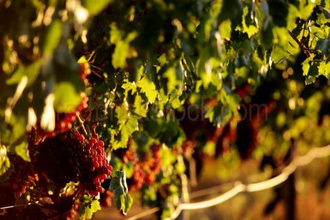 grapes;red grapes;wine grapes;vine;vines;crop;growing;harvest;harvesting;grape picking;vineyard;vineyards;backlit;backlighting;selective focus;fruit;bunch;bunches;rows;row;ripe;ripened;fruit;fresh fruit;sweet;close-up;closeup;wa;western australia;MG_0051