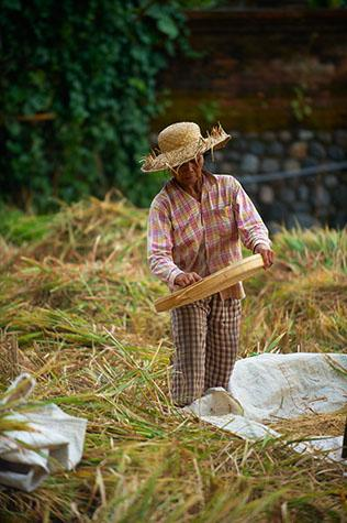 rice;rices;rice growing;rice growing in field;rice farming;rice grass;grain;grains;bali;balinese;indonesia;indonesian;ubud;harvest;green grass;grasses;shoots;asia;south east asia;asian;crop;crops;cropping;crops;harvesting;rice harvest;harvests;farm;farms;farming;farming industry;farming industries;agriculture;agricultural;plant;plants;plantation;plantations;farmland;farmlands;farm land;farm lands;rural;plantation;plantations;paddy;paddys;paddies;farmer;farmers;villager;villagers;work;works;working;worker;workers;labour;labourer;labor;laborer;woman;women;one person;one woman;people;person;straw hat;straw hats;sift;sifts;sifting;sifted