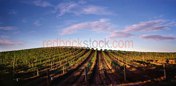 vinyard;grape;vines;vine;orchard;agriculture;panorama;panoramic;