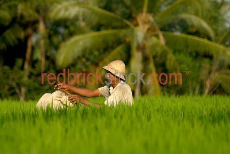rice;rice growing;rice growing in field;rice farming;rice grass;grain;grains;bali;balinese;indonesia;indonesian;ubud;harvest;green;green grass;grasses;shoots;asia;south east asia;asian;crop;cropping;crops;harvesting;rice harvest;bali;balinese;man;balinese man;villager;farmer;farming