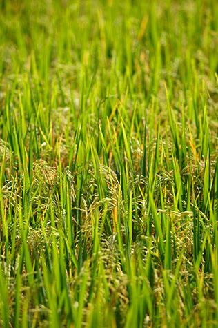 rice;rices;rice growing;rice growing in field;rice farming;rice grass;grain;grains;bali;balinese;indonesia;indonesian;ubud;harvest;green;greens;colour green;color green;green grass;grasses;shoots;asia;south east asia;asian;crop;cropping;crops;close-up;up close;closeup;close up;harvesting;rice harvest;harvests;farm;farms;farming;farming industry;farming industries;agriculture;agricultural;plant;plants;farmland;farmlands;farm land;farm lands;rural;plantation;plantations;paddy;paddys