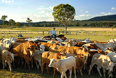 cow;cows;cattle;beef cattle;hereford;hereford cow;hereford cows;hereford cattle;muster;musters;mustering;mustering cows;mustering cattle;herd;herds;herd of cattle;cattle herd;cattle herds;herding;cattle herding;horseman;horsemen;horse;horses;stockman;stockmen;stock man;stock men;australia;australian;aus;country;country setting;country settings;countryside;country side;day time;daytime;sunny;sunshine;sunlight;sun light;grass;grasses;paddock;paddocks;cattle paddock;cattle paddocks;farm;farms;farming;farmland;farm land;cattle yard;cattle yards;cattle property yard;cattle property yards;cattle property;cattle properties;beef;cattle farm;cattle farms;rural;rural setting;rural settings;livestock;agriculture;agricultural;agricultural industry;farming industry;copyspace;copy space;textspace;text space;blue sky;blue skies;work;works;working;horseman mustering cattle;horse man mustering cattle;horseman cattle herding;horse man cattle herding;horseman herding cattle;horse man herding cattle;calf;calves;hereford calf;hereford calves;hill;hills;hilly;hillside;hill side;fence;fences;fencing;tree;trees;cowboy;cowboys;cow boy;cow boys