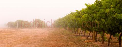 grapes;frankland river;region;wine grapes;vine;vines;crop;growing;harvest;harvesting;grape picking;row;rows;ripe;ripened;ripening;vineyard;vineyards;mist;misty;frost;early morning;fruit;bunch;bunches;fruit;backlight;backlit;backlighting;early morning;late afternoon;sunlight;sun;morning sun;hill;hills;golden light;wa;west australia;western australia;australia;australian;pano;panorama;panoramic;IMG_9758