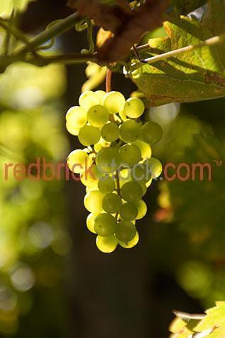 grape;grapes;agriculture;agrucultural;wine;wines;making wine;grow;growing;growing grapes;grape vine;grape vines;leaf;leaves;fruit;fuits;plant;grape plant;plants;grape plants;green grapes;green grape;harvest;harvests;farm;farms;farming;wine farm;wine farms;winery;vineyeard;wineries;vineyards;ripe;ripen;ripening;grapes ripening on vine;grapes ripening on vines