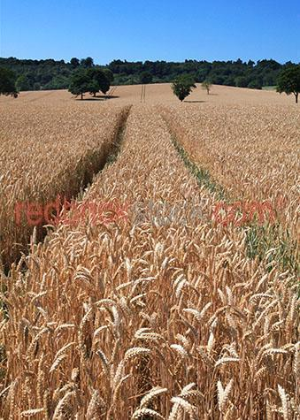 wheat;wheat farm;wheat farms;grain;grains;cereals;cereal grains;grain;production;staple crops;crop;crops;cropping;harvest;harvests;harvesting;produce;fresh produce;farm;farms;farming;farming industry;farming industries;vegetable farming;commercial farming;cultivating;cultivate;cultivation;plant;plants;industry;grow;growing;grows;seed;field;fields;environment;ready to harvest