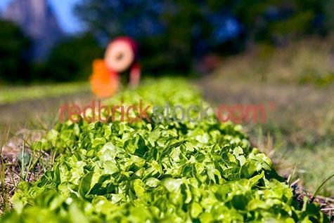 lettuce;lettuces;green oak leaf lettuce;certified organic crop;certified organic green oak leaf lettuce;certified organic crop;certified organic lettuce;organic farm;pesticide free;certified organic farm;certified organic producer;chemical free;community supported agriculture CSA;socio-economic model of agriculture and food distribution;low carbon footprint;low carbon footprint;local food;crop of lettuce;farmer;farmer picking lettuce;farmer picking green oak leaf lettuce;agriculture;sustainable agriculture;crop;crops;cropping;harvest;harvests;harvesting;produce;fresh produce;farm;farms;farming;farmer;farmers;farming industry;farming industries;vegetable farming;commercial farming;plant;plants;grow;growing;grows;seed;field;fields;one person;one farmer