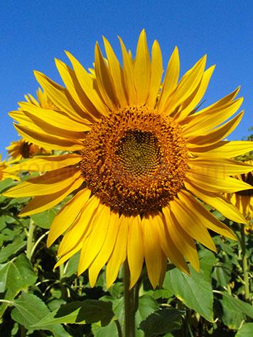 sun flowers;sun fower;sunflower;sunflowers;flowers;flower;crop;field;fields;agriculture;agricultural;farm;farms;farming;yellow;crops;helianthus annuus;big sunflower;sunflower seed;sunflower seeds;seed;seeds;cropping;ready for harvest;harvesting;sunflower farm;sunflower farms;plant;plants;cropping;harvest;harvests;harvesting;produce;fresh produce;farm;farms;farming;farming industry;farming industries;commercial farming;blue sky;blue skies