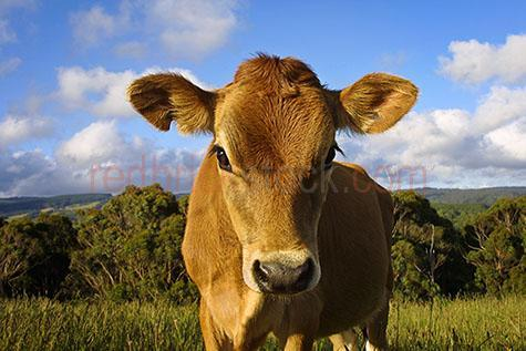 cow; cows; cattle; animal; animals; dairy cow; dairy cows; dairy cattle; dairy industry; dairy farm; dairy farms; dairy farming; dairy farming industry; dairy; dairies; milk cow; milk cows; milk cattle; jersey cow; jersey cows; bovine; bovines; bovine industry; livestock; live stock; stock; cattle industry; bovine industry; farming industry; cattle farming industry; graze; grazes; grazing; cow grazing; cows grazing; cattle grazing; pasture; pastures; food chain; food chains; dairy farmer; dairy farmers; farm animal; farm animals; farm; farms; farming; cattle farming; australian farm; australian farms; australian farming; australian farming industry; australian cattle farming; australian cattle farming industry; australian bovine industry; farmland; farmlands; farm land; farm lands; farming property; farming properties; on farm; on the farm; cow on farm; cows on farm; cattle on farm; cow on the farm; cows on the farm; cattle on the farm; animal on farm; animals on farm; animal on the farm; animals on the farm; at farm; at the farm; cow at farm; cows at farm; cattle at farm; cow at the farm; cows at the farm; cattle at the farm; animal at farm; animals at farm; animal at the farm; animals at the farm; paddock; paddocks; cow paddock; cow paddocks; cattle paddock; cattle paddocks; farm paddock; farm paddocks; farming paddock; farming paddocks; calf; calves; baby cow; baby cows; baby animal; baby animals; baby; babies; cute; cattle yard; cattle yards; yard; yards; country; countryside; country setting; country settings; australian country; australian countryside; rural; rural area; rural areas; rural setting; rural settings; rural australia; regional; regional australia; cow portrait; cow portraits; cattle portrait; cattle portraits; animal portrait; animal portraits; grass; grasses; green grass; green grasses; long grass; long grasses; tree; trees; green tree; green trees; hill; hills; hilly; hillside; hill side; mountain; mountains; mountainous; mountain range; mountain ranges; import; imports; importing; livestock import; livestock imports; importing livestock; live stock import; live stock imports; importing live stock; export; exports; exporting; livestock export; livestock exports; exporting livestock; live stock export; live stock exports; exporting livestock; animal photography; agriculture; agricultural; agriculture industry; agricultural industry; australian agriculture industry; australian agricultural industry; day; daytime; day time; during the day; in the daytime; in the day time; daylight; day light; looking at camera; looking at the camera; brown cow; brown cows; sky; skies; blue sky; blue skies; against blue sky; cloud; clouds; white cloud; white clouds; fluffy cloud; fluffy clouds; white fluffy cloud; white fluffy clouds; fluffy white cloud; fluffy white clouds; cumulus cloud; cumulus clouds; puffy cloud; puffy clouds; white puffy cloud; white puffy clouds; puffy white cloud; puffy white clouds; head; heads; cow head; cow heads; animal head; animal heads; face; faces; cow face; cow faces; animal face; animal faces; ear; ears; cow ears; nose; noses; cow nose; cow noses; eye; eyes; cow eye; cow eyes; animal eye; animal eyes; australia; australian; aus; royalty free; rf; royalty free image; royalty free images; rf image; rf images; close-up; close-ups; close up; close ups; closeup; closeups; close-up view; close-up views; closeup view; closeup views; close-up views; close-up views; close up views; closeup views; copyspace; copy space; textspace; text space; at; on; in; and; &; +;
