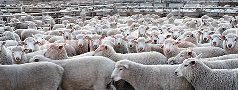 sheep;sheeps;livestock;live stock;livestock sale yards;live stock sale yards;livestock saleyards;live stock saleyards;sale yards;saleyards;sheep yard;sheep yards;sheep pen;sheep pens;sheep sale;sheep sales;crowded yards;crowded sheep yards;crowded sheep pen;crowded sheep pens;crowd;crowds;crowded;agriculture;agricultural;farm;farms;farming;farm animal;farm animals;animal;animals;wool;wooly;woolly;woolley;fleece;fleeces;ovine;rural;mammal;mammals;ewe;ewes;flock;flocks;group;groups;close-up;close-ups;close up;close ups;closeup;closeups;close-up view;close-up views;closeup view;closeup views;close-up views;close-up view's;close up views;closeup views;stare;stares;staring;run;runs;running;distressed;distressed animal;distressed animals;animal cruelty;cruelty to animals;fence;fences;gate;gates;panorama;panoramas;panoramic;pano;panos;hamilton;wool capitol of australia;south west victoria;southern grampians;southern grampians shire;hamilton saleyards;hamilton sale yards;victoria;vic;australia;australian;aus