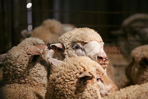 sheep;sheeps;farm animal;farm animals;wool;wooly;woolly;woolley;fleece;fleeces;ovine;rural;livestock;livestock;animal;animals;farming;farm;farms;animals;mammal;mammals;ewe;ewes;flock;flocks;shearing;shearing shed;shearing sheds;shearer;sheares;shears;outback;australia;ausralan;flock;flocks;group;groups;selective colour