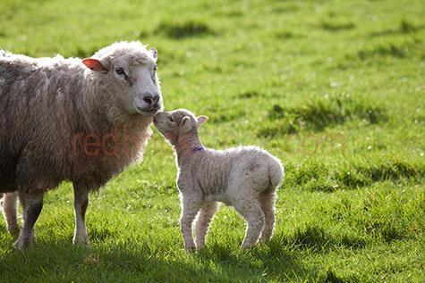 sheep; sheeps; animal; animals; lamb; lambs; baby sheep; baby animal; baby animals; baby; babies; cute; lambing; lambing season; lambing seasons;ovine; ovines; ovine industry; wool; wooly; woolly; woolley; fleece; fleeces;agriculture; agricultural; agriculture industry; livestock; live stock; stock;nature; sheep industry; sheep farming industry; farming industry; farm animal; farm animals; farm; farms; farming; sheep farming; graze; grazes; grazing; sheep grazing; nature; pasture; pastures; lush; lush pasture; lush pastures;paddock; paddocks; sheep paddock; sheep paddocks; farm paddock; farm paddocks; farming paddock; farming paddocks; farmland; farmlands; farm land; farm lands; farming property; farming properties;on farm; on the farm; sheep on farm; sheep on the farm; lamb on farm; lambs on farm; lamb on the farm; lambs on the farm; at farm; at the farm; sheep at farm; sheep at the farm; lamb at farm; lambs at farm; lamb at the farm; lambs at the farm; field; fields; lush field; lush fields;sheep farmer; sheep farmers; farmer; farmers; food chain; food chains;country; countryside; country setting; country settings; english country; english countryside; rural; rural area; rural areas; rural setting; rural settings; rural england;sheep portrait; sheep portraits; animal portrait; animal portraits;animal photography; grass; grasses; green grass; green grasses; greenery; sunlight; sun light; mother and child; mother & child;mother; mothers; motherhood; parent; parents; parenting; parenthood; mother sheep; child; children; nurture; nurtures; nurturing;ewe; ewes; protect; protects; protecting; protection; spring; springtime; spring time; looking at camera; looking at the camera; kiss; kisses; kissing; love; travel; travels; traveling; overseas travel; over seas travel; overseas; over seas; holiday; holidays; vacation; vacations; trip; trips; overseas holiday; overseas holidays; over seas holiday; over seas holidays; overseas vacation; overseas vacations; over seas vacati