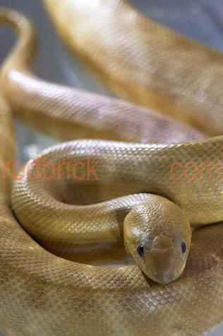 woma python; woma pythons; woma snake; woma snakes; aspidites ramsayi; snake; snakes; animal; animals; australian snake; australian snakes; australian animal; australian animals; python; pythons; australian python; australian pythons; australian native animal; australian native animals; native animal; native animals; native; natives; reptile; reptiles; australian reptile; australian reptiles; serpent; serpents; wild snake; wild snakes; wild animal; wild animals; wild python; wild pythons; wild woma python; wild woma pythons; in the wild; snake in the wild; snakes in the wild; animal in the wild; animals in the wild; python in the wild; pythons in the wild; woma python in the wild; woma pythons in the wild; slither; slithers; slithering; snake slither; snake slithers; snakes slither; snake slithering; snakes slithering; slithering snake; slithering snakes; python slither; python slithers; pythons slither; python slithering; pythons slithering; slithering python; slithering pythons; woma python slither; woma python slithers; woma pythons slither; woma python slithering; woma pythons slithering; slithering woma python; slithering woma pythons; crawl; crawls; crawling; snake crawling; snakes crawling; python crawling; pythons crawling; woma python crawling; wpma pythons crawling; constrictor; constrictors; curled up; snake curled up; snakes curled up; curled up snake; curled up snakes; python curled up; pythons curled up; curled up python; curled up pythons; woma python curled up; woma pythons curled up; curled up woma python; curled up woma pythons; creepy crawly; creepy crawlie; creepy crawlies; snake skin; scale; scales; snake scale; snake scales; pet; pets; pet snake; pet snakes; pet python; pet pythons; pet woma python; pet woma pythons; pet animal; pet animals; aggressive; aggression; agressive snake; aggressive snakes; aggressive animal; aggressive animals;phobia; phobias; snake phobia; snake phobias; ophidiophobia; ophiophobia; fear; fears; fear of snakes; snake portrait; snake portraits; animal portrait; animal portraits; python portrait; python portraits; woma python portrait; woma python portraits; pet portrait; pet portraits; wildlife; wild life; australian wildlife; australian wild life; australian native wildlife; australian native wild life; wildlife photography; wild life photography; nature; natural habitat; natural habitats; animal photography; pet photography; australia; australian; aus; endangered animal; endangered animals; endangered species; threatened animal; threatened animals; threatened specials; royalty free; rf; royalty free image; royalty free images; rf image; rf images; close-up; close-ups; close up; close ups; closeup; closeups; close-up view; close-up views; closeup view; closeup views; close-up views; close-up views; close up views; closeup views; copyspace; copy space; textspace; text space; at; on; in; and; &; +;