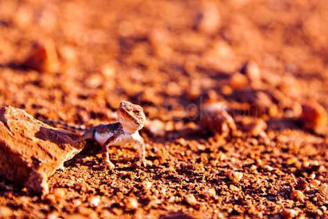 desert lizard; desert lizards; lizard; lizards; animal; animals; australian lizard; australian lizards; australian animal; australian animals; australian native lizard; australian native lizards; australian native animal; australian native animals; native animal; native animals; native; natives; native species; australian native species; fauna; australian fauna; australian native fauna; reptile; reptiles; australian reptile; australian reptiles; camouflage; camouflages; camoflaging; desert; deserts; australian desert; australian deserts; dry; dry land; dry lands; barren; barren land; barren lands; desolate; desolate land; desolate lands; arid; arid land; arid lands; red earth; red dirt; red dirts; dirt; dirts; red soil; red soils; orange soil; orange soils; soil; soils; red sand; red sands; orange sand; orange sands; drought; droughts; drought stricken; drought stricken land; wild thorny desert lizard; wild desert lizards; wild lizard; wild lizards; wild animal; wild animals; wild; in the wild; desert lizard in the wild; desert lizards in the wild; lizard in the wild; lizards in the wild; animal in the wild; animals in the wild; terrestrial; terrestrial animal; terrestrial animals; desert lizard portrait; desert lizard portraits; lizard portrait; lizard portraits; animal portrait; animal portraits; moloch; orange; oranges; colour orange; color orange; wildlife; wild life; australian wildlife; australian wild life; australian native wildlife; australian native wild life; wildlife photography; wild life photography; nature; natural habitat; natural habitats; animal photography; rock; rocks; stone; stones; looking at camera; looking at the camera; tourist attraction; tourist attractions; australian tourist attraction; australian tourist attractions; northern territory tourist attraction; northern territory tourist attractions; nt tourist attraction; nt tourist attractions; australian tourist destination; australian tourist destinations; northern territory tourist destination; northern territory tourist destinations; nt tourist destination; nt tourist destinations; tourism; tourism australia; australian tourism; northern territory tourism; tourism northern territory; nt tourism; tourism nt; day; daytime; day time; during the day; in the daytime; in the day time; daylight; day light; northern territory; nt; australia; australian; aus; royalty free; rf; royalty free image; royalty free images; rf image; rf images; close-up; close-ups; close up; close ups; closeup; closeups; close-up view; close-up views; closeup view; closeup views; close-up views; close-up views; close up views; closeup views; copyspace; copy space; textspace; text space; at; on; in; and; &; +;