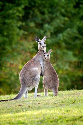 kangaroo; kangaroos; roo; roos; animal; animals; eastern grey kangaroo; eastern grey kangaroos; eastern grey roo; eastern grey roos; macropus giganteus; australian animal; australian animals; australian native animal; australian native animals; native animal; native animals; native; natives; native species; australian native species; fauna; australian fauna; australian native fauna; joey; joeys; baby kangaroo; baby kangaroos; baby animal; baby animals; baby; babies; cute; kangaroo with joey; kangaroo and joey; kangaroo & joey; mother and child; mother & child; mother; mothers; motherhood; parent; parents; parenting; parenthood; child; children; nurture; nurtures; nurturing; protect; protects; protecting; protection; marsupial; marsupials; australian marsupial; australian marsupials; macropod; macropods; icon; icons; iconic; australian icon; australian icons; iconic australia; wild kangaroo; wild kangaroos; wild animal; wild animals; wild; in the wild; kangaroo in the wild; kangaroos in the wild; animal in the wild; animals in the wild; terrestrial; terrestrial animal; terrestrial animals; terrestrial mammal; terrestrial mammals; mammal; mammals; australian mammal; australian mammals; grass; grasses; green grass; green grasses; tree; trees; greenery; kangaroo portrait; kangaroo portraits; roo portrait; roo portraits; animal portrait; animal portraits; macropodidae; wildlife; wild life; australian wildlife; australian wild life; australian native wildlife; australian native wild life; wildlife photography; wild life photography; nature; natural habitat; natural habitats; animal photography; looking at camera; looking at the camera; country; country setting; country settings; australian country; rural; rural area; rural areas; rural setting; rural settings; rural australia; regional; regional australia; tourist attraction; tourist attractions; australian tourist attraction; australian tourist attractions; queensland tourist attraction; queensland tourist attractions; qld tourist attraction; qld tourist attractions; gold coast tourist attraction; gold coast tourist attractions; tourist destination; tourist destinations; australian tourist destination; australian tourist destinations; queensland tourist destination; queensland tourist destinations; qld tourist destination; qld tourist destinations; gold coast tourist destination; gold coast tourist destinations; tourism; tourism australia; australian tourism; queensland tourism; tourism queensland; qld tourism; tourism qld; australia; australian; aus; gold coast; gold coast hinterland; hinterland; queensland; qld; day; daytime; day time; during the day; in the daytime; in the day time; daylight; day light; two; 2; double; duo; two kangaroos; 2 kangaroos; rights managed; rm; rights managed image; rights managed images; rm image; rm images; close-up; close-ups; close up; close ups; closeup; closeups; close-up view; close-up views; closeup view; closeup views; close-up views; close-up views; close up views; closeup views; copyspace; copy space; textspace; text space; at; on; in; and; &; +;