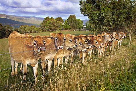 cow; cows; cattle; animal; animals; dairy cow; dairy cows; dairy cattle; dairy industry; dairy farm; dairy farms; dairy farming; dairy farming industry; dairy; dairies; milk cow; milk cows; milk cattle;jersey cow; jersey cows; bovine; bovines; bovine industry; livestock; live stock; stock;cattle industry; bovine industry; farming industry; cattle farming industry; graze; grazes; grazing; cow grazing; cows grazing; cattle grazing;pasture; pastures; herd; herds; herding; cattle herd; cattle herds; herding cows; herding cattle; food chain; food chains;dairy farmer; dairy farmers; farm animal; farm animals; farm; farms; farming; cattle farming;australian farm; australian farms; australian farming; australian farming industry; australian cattle farming; australian cattle farming industry; australian bovine industry; farmland; farmlands; farm land; farm lands; farming property; farming properties;on farm; on the farm; cow on farm; cows on farm; cattle on farm; cow on the farm; cows on the farm; cattle on the farm; animal on farm; animals on farm; animal on the farm; animals on the farm; at farm;at the farm; cow at farm; cows at farm; cattle at farm; cow at the farm; cows at the farm; cattle at the farm; animal at farm; animals at farm; animal at the farm; animals at the farm; paddock; paddocks; cow paddock; cow paddocks; cattle paddock; cattle paddocks; farm paddock; farm paddocks; farming paddock; farming paddocks; fence; fences; fenced; fenced paddock; fenced paddocks; fenceline; fencelines; fence line; fence lines; cattle yard; cattle yards; yard; yards; country; countryside; country setting; country settings; australian country; australian countryside; rural; rural area; rural areas; rural setting; rural settings; rural australia; regional; regional australia;cow portrait; cow portraits; cattle portrait; cattle portraits; animal portrait; animal portraits; grass; grasses; green grass; green grasses; long grass; long grasses; tree; trees; green tree; green trees; hill;