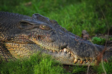 crocodile; crocodiles; croc; crocs; animal; animals; saltwater crocodile; saltwater crocodiles; saltwater croc; saltwater crocs; salt water crocodile; salt water crocodiles; salt water croc; salt water crocs; saltwater; salt water; freshwater crocodile; freshwater crocodiles; freshwater croc; freshwater crocs; fresh water crocodile; fresh water crocodiles; fresh water croc; fresh water crocs; freshwater; fresh water; freshwater animal; freshwater animals; fresh water animal; fresh water animals; reptile; reptiles; australian reptile; australian reptiles; australian animal; australian animals; australian native animal; australian native animals; native animal; native animals; native; natives; native species; australian native species; predator; predators; dangerous; danger; dangers; dangerous animal; dangerous animals; carnivore; carnivores; carnivorous; riverbank; riverbanks; river bank; river banks; banks of the river; banks of the river; crocodile on riverbank; crocodiles on riverbank; crocodile on river bank; crocodile on river banks; crocodile on banks of the river; crocodiles on banks of river; crocodile on banks of the river; crocodiles on the banks of the river; lurk; lurks; lurking; crocodile lurking; crocodiles lurking; on land; crocodile on land; crocodiles on land; freshwater crocodile on land; freshwater crocodiles on land; fresh water crocodile on land; fresh water crocodiles on land; saltwater crocodile on land; saltwater crocodiles on land; salt water crocodile on land; salt water crocodiles on land; hunt; hunts; hunting; hunter; hunters; hunting prey; stalk; stalks; stalking; stalker; stalkers; stalking prey; spy; spies; spying; spying on prey; watch; watches; watching; watching prey; watching you; looking at camera; looking at the camera; wild crocodile; wild crocodiles; wild animal; wild animals; wild; in the wild; crocodile in the wild; crocodiles in the wild; animal in the wild; animals in the wild; teeth; tooth; crocodile teeth; crocodile tooth; jaw; jaws; crocodile jaw; crocodile jaws;national park; national parks; protected area; protected areas; conservation; conservations; intimidating; intimidate; intimidates; crocodile skin; crocodile skins; rough skin;  terrestrial; terrestrial animal; terrestrial animals; crocodile portrait; crocodile portraits; animal portrait; animal portraits; crocodylus porosus; head; heads; crocodile head; crocodile heads; animal head; animal heads; face; faces; crocodile face; crocodile faces; grass; grasses; green grass; green grasses; wildlife; wild life; australian wildlife; australian wild life; australian native wildlife; australian native wild life; wildlife photography; wild life photography; nature; natural habitat; natural habitats; animal photography; aggressive; aggression; aggressive animal; aggressive animals; day; daytime; day time; during the day; in the daytime; in the day time; daylight; day light; australia; australian; aus; northern territory; nt; tourist attraction; tourist attractions; australian tourist attraction; australian tourist attractions; northern territory tourist attraction; northern territory tourist attractions; nt tourist attraction; nt tourist attractions; tourist destination; tourist destinations; australian tourist destination; australian tourist destinations; northern territory tourist destination; northern territory tourist destinations; nt tourist destination; nt tourist destinations; tourism; tourism australia; australian tourism; northern territory tourism; tourism northern territory; nt tourism; tourism nt; royalty free; rf; royalty free image; royalty free images; rf image; rf images; close-up; close-ups; close up; close ups; closeup; closeups; close-up view; close-up views; closeup view; closeup views; close-up views; close-up views; close up views; closeup views; copyspace; copy space; textspace; text space; at; on; in; and; &; +;