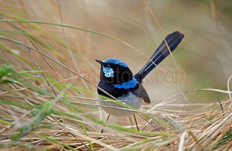 blue wren; blue wrens; wren; wrens; bird; birds; animal; animals; blue fairy wren; blue fairy wrens; fairy wren; fairy wrens; australian bird; australian birds; australian animal; australian animals; australian native bird; australian native birds; australian native animal; australian native animals; native species; australian native species; nest; nests; nesting; wren nest; wren nests; wren nesting; wrens nesting; blue wren nest; blue wren nests; blue wren nesting; blue wrens nesting; bird nest; bird nests; bird nesting; birds nesting; wild wren; wild wrens; wild bird; wild birds; wild animal; wild animals; wild; in the wild; wren in the wild; wrens in the wild; bird in the wild; birds in the wild; animal in the wild; animals in the wild; wing; wings; wren wing; wren wings; blue wren wing; blue wren wings; bird wing; bird wings; beak; beaks; wren beak; wren beaks; blue wren beak; blue wren beaks; bird beak; bird beaks; feather; feathers; wren feather; wren feathers; blue wren feather; blue wren feathers; bird feather; bird feathers; blue feather; blue feathers; black feather; black feathers; wren portrait; wren portraits; blue wren portrait; blue wren portraits; bird portrait; bird portraits; malurus cyaneus; animal photography; wildlife; wild life; australian wildlife; australian wild life; australian native wildlife; australian native wild life; wildlife photography; wild life photography; nature; natural habitat; natural habitats; small bird; small birds; tail; tails; blue wren tail; blue wren tails; wren tail; wren tails; bird tail; bird tails; grass; grasses; dry grass; dry grasses; day; daytime; day time; during the day; in the daytime; in the day time; daylight; day light; stand; stands; standing; standing up; corio bay; corio; geelong; victoria; victorian; vic; australia; australian; aus; royalty free; rf; royalty free image; royalty free images; rf image; rf images; close-up; close-ups; close up; close ups; closeup; closeups; close-up view; close-up views; closeup view; closeup views; close-up views; close-up views; close up views; closeup views; copyspace; copy space; textspace; text space; at; on; in; and; &; +;