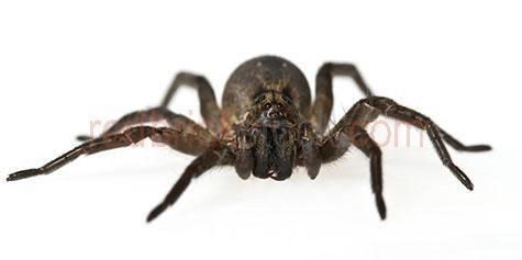 spider; spiders; animal; animals; australian spider; australian spiders; australian animal; australian animals; creepy crawly; creepy crawlie; creepy crawlies; critter; critters; creature; creatures; aggressive; aggression; aggressive spider; aggressive spiders; aggressive animal; aggressive animals; attack; attacks; spider bite; spider bites; fang; fangs; spider fang; spider fangs; arachnid; arachnids; eight; 8; eight legs; 8 legs; phobia; phobias; spider phobia; spider phobias; arachnophobia; arachnephobia; fear; fears; fear of spiders; spider portrait; spider portraits; animal portrait; animal portraits; macro; macro photography; animal photography; white background; white backgrounds; white back ground; white back grounds; on white; on white background; on white backgrounds; on white back ground; on white back grounds; cut out; cut outs; cut-out; cut-outs; studio; studios; studio portrait; studio portraits; looking at camera; looking at the camera; panorama; panoramas; panoramic; panoramics; pano; panos; australia; australian; aus; royalty free; rf; royalty free image; royalty free images; rf image; rf images; close-up; close-ups; close up; close ups; closeup; closeups; close-up view; close-up views; closeup view; closeup views; close-up views; close-up views; close up views; closeup views; copyspace; copy space; textspace; text space; at; on; in; and; &; +;