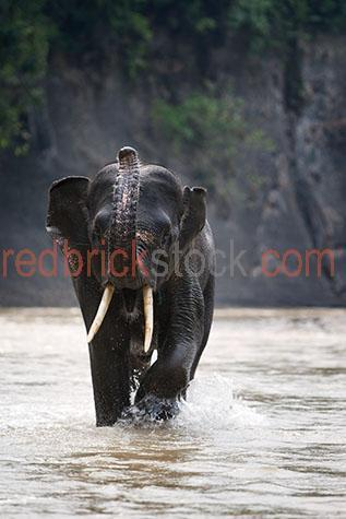 elephant; elephants; animal; animals; asian elephant; asian elephants; asian animal; asian animals; asia; asian; asian wildlife; asian wild life; wildlife; wild life; trunk; trunks; elephant trunk; elephant trunks; endangered animal; endangered animals; endangered species; threatened animal; threatened animals; threatened specials; wild elephant; wild elephants; wild animal; wild animals; wild; in the wild; elephant in the wild; elephants in the wild; animal in the wild; animals in the wild; wrinkle; wrinkles; wrinkly; wrinkly skin;  age; aged; old age; mature; wisdom; tusk; tusks; elephant tusk; elephant tusks; trunk; trunks; elephant trunk; elephant trunks; large animal; large animals; terrestrial; terrestrial animal; terrestrial animals;  terrestrial mammal; terrestrial mammals; mammal; mammals; waterhole; waterholes; water hole; water holes; elephant at waterhole; elephants at waterhole; elephant at water hole; elephant at water holes; river; rivers; bath; baths; bathing; bathe; bathes; drink; drinks; drinking; elephant portrait; elephant portraits; animal portrait; animal portraits; elephantidae; elephas maximus sumatrensis; nature; natural habitat; natural habitats; wildlife photography; wild life photography; wet; wet animal; wet animals; in water; elephant in water; elephants in water; sumatra; indonesia; indonesian; indonesian elephant; indonesian elephants; trunk up; elephant trunk up; elephants trunk up; good luck; luck; tourist attraction; tourist attractions; sumatra tourist attraction; sumatra tourist attractions; asia tourist attraction; asia tourist attractions; asian tourist attraction; asian tourist attractions; indonesia tourist attraction; indonesia tourist attractions; indonesian tourist attraction; indonesian tourist attractions; tourist destination; tourist destinations; sumatra tourist destination; sumatra tourist destinations; asia tourist destination; asia tourist destinations; asian tourist destination; asian tourist destinations; indonesia tourist destination; indonesia tourist destinations; indonesian tourist destination; indonesian tourist destinations; tourism; travel; travels; traveling; overseas travel; over seas travel; overseas; over seas; animal photography; rights managed; rm; rights managed image; rights managed images; rm image; rm images; close-up; close-ups; close up; close ups; closeup; closeups; close-up view; close-up views; closeup view; closeup views; close-up views; close-up views; close up views; closeup views; copyspace; copy space; textspace; text space; at; on; in; and; &; +;