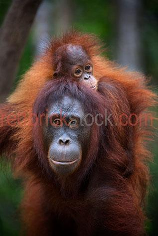 orangutan; orangutans; orang-utan; orang-utans; orang utan; orang utans; animal; animals; ape; apes; wild ape; wild apes; great ape; great apes; wild orangutan; wild orangutans; wild orang-utan; wild orang-utans; wild orang utan; wild orang utans; wild animal; wild animals; wild;  in the wild; orangutan in the wild; orangutans in the wild; orang-utan in the wild; orang-utans in the wild; orang utan in the wild; orang utans in the wild; animal in the wild; animals in the wild; ape in the wild; apes in the wild; primate; primates; endangered animal; endangered animals; endangered species; threatened animal; threatened animals; threatened specials; adult; adults; adult orangutan; adult orangutans; adult orang-utan; adult orang-utans; adult orang utan; adult orang utans; play; plays; playing; playful; orangutan playing; orangutans playing; orang-utan playing; orang-utans playing; orang utan playing; orang utans playing; animal playing; animals playing; playful orangutan; playful orangutans; playful orang-utan; playful orang-utans; playful orang utan; playful orang utans; playful animal; playful animals; climb; climbs; climbing; climber; climbers; tree climber; tree climbers; tree climb; tree climbs; tree climbing; tree; trees; rainforest; rainforests; rain forest; rain forests; forest; forests; jungle; jungles; orangutan in jungle; orangutans in jungle; animal in jungle; animals in jungle; jungle animal; jungle animals; mammal; mammals;  orangutan portrait; orangutan portraits; orang-utan portrait; orang-utan portraits; orang utan portrait; orang utan portraits; animal portrait; animal portraits; pongo; pongo pygmaeus; ponginae; asia; asian; asian orangutan; asian orangutans; asian animal; asian animals; borneo; borneo orangutan; borneo orangutans; indonesia; indonesian; indonesian orangutan; indonesian orangutans; central kalimantan; kalimantan; nyaru menteng; nyaru menteng care centre; nyaru menteng orangutan rehabilitation and reintroduction centre; rehabilitation centre; rehabilitation centres; animal rehabilitation centre; animal rehabilitation centres; wildlife; wild life; asian wildlife; asian wild life; wildlife photography; wild life photography; nature; natural habitat; natural habitats;  national park; national parks; protected area; protected areas; conservation; conservations; animal shelter; animal shelters; shelter; shelters; animal rescue; animal rescues; rescue; rescues; animal welfare shelter; animal welfare shelters; welfare shelter; welfare shelters; animal refuge; animal refuges; refuge; refuges;  mother; mothers; motherhood; parent; parents; parenting; parenthood; child; children; nurture; nurtures; nurturing;  young; young orangutan; young orangutans; young orang-utan; young orang-utans; young orang utan; young orang utans; baby orangutan; baby orangutans; baby animal; baby animals; baby; babies; cute; orangutan infant; orangutan infants; infant; infants; piggy back; piggy backs; piggy back ride; piggy back rides; tourist attraction; tourist attractions; borneo tourist attraction; borneo tourist attractions; asia tourist attraction; asia tourist attractions; asian tourist attraction; asian tourist attractions; tourist destination; tourist destinations; borneo tourist destination; borneo tourist destinations; asia tourist destination; asia tourist destinations; asian tourist destination; asian tourist destinations; tourism; travel; travels; traveling; overseas travel; over seas travel; overseas; over seas; rights managed; rm; rights managed image; rights managed images; rm image; rm images; close-up; close-ups; close up; close ups; closeup; closeups; close-up view; close-up views; closeup view; closeup views; close-up views; close-up views; close up views; closeup views; copyspace; copy space; textspace; text space; at; on; in; and; &; +;