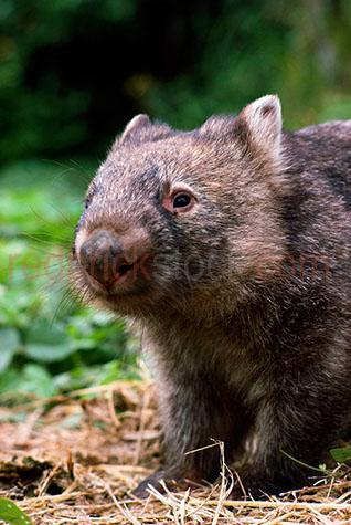 wombat; wombats; animal; animals; hairy nosed wombat; hairy nosed wombats; hairy-nosed wombat; hairy-nosed wombats; lasiorhinus krefftii; australian animal; australian animals; australian native animal; australian native animals; native animal; native animals; native; natives; native species; australian native species; fauna; australian fauna; australian native fauna; wild wombat; wild wombats; wild animal; wild animals; wild; in the wild; wombat in the wild; wombats in the wild; animal in the wild; animals in the wild; marsupial; marsupials; australian marsupial; australian marsupials; bush; bushland; bush land; australian bush; australian bushland; australian bush land; icon; icons; iconic; australian icon; australian icons; terrestrial; terrestrial animal; terrestrial animals; terrestrial mammal; terrestrial mammals; mammal; mammals; australian mammal; australian mammals; endangered animal; endangered animals; endangered species; threatened animal; threatened animals; threatened specials; national park; national parks; protected area; protected areas; conservation; conservations; walk; walk; walking; wombat walk; wombat walks; wombat walking; wombats walking; wombat portrait; wombat portraits; animal portrait; animal portraits; vombatidae; wildlife; wild life; australian wildlife; australian wild life; australian native wildlife; australian native wild life; wildlife photography; wild life photography; nature; natural habitat; natural habitats; animal photography; tourist attraction; tourist attractions; australian tourist attraction; australian tourist attractions; 