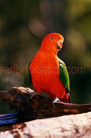 parrot; parrots; king parrot; king parrots; bird; birds; animal; animals; australian bird; australian birds; australian animal; australian animals; australian native bird; australian native birds; australian native animal; australian native animals; native species; australian native species; fauna; australian fauna; australian native fauna; sitting in a tree; sitting in tree; parrot sitting in a tree; parrots sitting in a tree; parrot sitting in tree; parrots sitting in tree; parrot in tree; parrot in trees; parrots in tree; parrots in trees; king parrot sitting in a tree; king parrots sitting in a tree; king parrot sitting in tree; king parrots sitting in tree; king parrot in tree; king parrot in trees; parrots in tree; king parrots in trees; bird sitting in a tree; birds sitting in a tree; bird sitting in tree; birds sitting in tree; bird in tree; bird in trees; birds in tree; birds in trees; tree; trees; sitting on a branch; sitting on branch; parrot sitting on a branch; parrots sitting on a branch; parrot sitting on branch; parrots sitting on branch; king parrot sitting on a branch; king parrots sitting on a branch; king parrot sitting on branch; king parrots sitting on branch; bird sitting on a branch; birds sitting on a branch; bird sitting on branch; birds sitting on branch; branch; branches; tree branch; tree branches; nest; nests; nesting; parrot nest; parrot nests; parrot nesting; parrots nesting; king parrot nest; king parrot nests; king parrot nesting; king parrots nesting; bird nest; bird nests; bird nesting; birds nesting; wild parrot; wild parrots; wild bird; wild birds; wild animal; wild animals; in the wild; parrot in the wild; parrots in the wild; bird in the wild; birds in the wild; animal in the wild; animals in the wild; wing; wings; parrot wing; parrot wings; king parrot wing; king parrot wings; bird wing; bird wings; beak; beaks; parrot beak; parrot beaks; king parrot beak; king parrot beaks; bird beak; bird beaks; feather; feathers; parrot feather; parrot feathers; king parrot feather; king parrot feathers; bird feather; bird feathers; red feather; red feathers; green feather; green feathers; colourful feather; colourful feathers; colorful feather; colorful feathers; colourful; colorful; colourful parrot; colourful parrots; colourful king parrot; colourful king parrots; colourful bird; colourful birds; colorful parrot; colorful parrots; colorful king parrot; colorful king parrots; colorful bird; colorful birds; parrot portrait; parrot portraits; king parrot portrait; king parrot portraits; bird portrait; bird portraits; alisterus scapularis; wildlife; wild life; australian wildlife; australian wild life; australian native wildlife; australian native wild life; wildlife photography; wild life photography; nature; natural habitat; natural habitats; animal photography; bright colour; bright color; bright colours; bright colours; vibrant; vibrant colour; vibrant color; vibrant colours; vibrant colours; day; daytime; day time; during the day; in the daytime; in the day time; daylight; day light; looking at camera; looking at the camera; australia; australian; aus; royalty free; rf; royalty free image; royalty free images; rf image; rf images; close-up; close-ups; close up; close ups; closeup; closeups; close-up view; close-up views; closeup view; closeup views; close-up views; close-up views; close up views; closeup views; copyspace; copy space; textspace; text space; at; on; in; and; &; +;