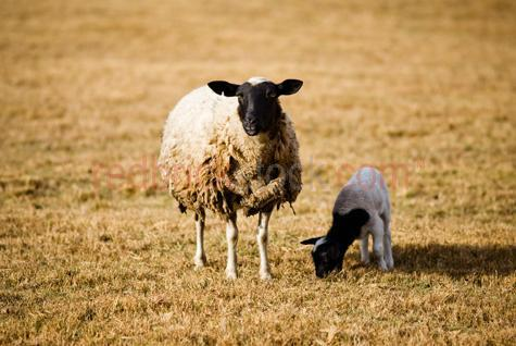 sheep; sheeps; animal; animals; lamb; lambs; baby sheep; baby animal; baby animals; baby; babies; cute; lambing; lambing season; lambing seasons; spring; springtime; spring time; breeding season; breeding seasons; australian animal; australian animals; ovine; ovines; ovine industry; wool; wooly; woolly; woolley; fleece; fleeces; livestock; live stock; stock; sheep industry; sheep farming industry; farming industry; farm animal; farm animals; farm; farms; farming; sheep farming; australian farm; australian farms; australian sheep farming; australian sheep farming industry; australian farming; australian farming industry; australian ovine industry; graze; grazes; grazing; sheep grazing; eating grass; sheep eating grass; pasture; pastures; paddock; paddocks; sheep paddock; sheep paddocks; farm paddock; farm paddocks; farming paddock; farming paddocks; on farm; on the farm; sheep on farm; sheep on the farm; lamb on farm; lambs on farm; lamb on the farm; lambs on the farm; at farm; at the farm; sheep at farm; sheep at the farm; lamb at farm; lambs at farm; lamb at the farm; lambs at the farm; field; fields; sheep farmer; sheep farmers; farmer; farmers; food chain; food chains; country; country setting; country settings; australian country; rural; rural area; rural areas; rural setting; rural settings; rural australia; regional; regional australia; sheep portrait; sheep portraits; lamb portrait; lamb portraits; animal portrait; animal portraits; dorper sheep; dorper; dorpers; dorper lamb; dorper lambs; grass; grasses; dry grass; dry grasses; drought; droughts; drought stricken; drought stricken land; black and white lamb; black and white lambs; black & white lamb; black & white lambs; black + white lamb; black + white lambs; black and white sheep; black & white sheep; black + white sheep; wooly sheep; woolly sheep; woolley sheep; agriculture; agricultural; agriculture industry; australian agriculture industry; agricultural industry; australian agricultural industry; animal photography; day; daytime; day time; during the day; in the daytime; in the day time; daylight; day light; feed; feeds; feeding; sheep feeding; mother and child; mother & child; mother; mothers; motherhood; parent; parents; parenting; parenthood; child; children; nurture; nurtures; nurturing; protect; protects; protection; protecting; australia; australian; aus; victoria; victorian; vic; royalty free; rf; royalty free image; royalty free images; rf image; rf images; close-up; close-ups; close up; close ups; closeup; closeups; close-up view; close-up views; closeup view; closeup views; close-up views; close-up views; close up views; closeup views; copyspace; copy space; textspace; text space; at; on; in; and; &; +;