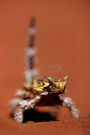 thorny devil; thorny devils; thorny dragon; thorny dragons; thorny lizard; thorny lizards; mountain devil; mountain devils; lizard; lizards; animal; animals; australian lizard; australian lizards; australian animal; australian animals; australian native lizard; australian native lizards; australian native animal; australian native animals; native animal; native animals; native; natives; native species; australian native species; fauna; australian fauna; australian native fauna; reptile; reptiles; australian reptile; australian reptiles; camouflage; camouflages; camoflaging; spike; spikes; spikey; spiky; desert; deserts; australian desert; australian deserts; sand dune; sand dunes; dune; dunes; sand; sands; sandy; dry; dry land; dry lands; barren; barren land; barren lands; desolate; desolate land; desolate lands; arid; arid land; arid lands; red earth; red dirt; red dirts; dirt; dirts; red soil; red soils; orange soil; orange soils; soil; soils; red sand; red sands; orange sand; orange sands; drought; droughts; drought stricken; drought stricken land; wild thorny devil; wild thorny devils; wild animal; wild animals; wild; in the wild; thorny devil in the wild; thorny devils in the wild; animal in the wild; animals in the wild; terrestrial; terrestrial animal; terrestrial animals; thorny devil portrait; thorny devil portraits; animal portrait; animal portraits; moloch; moloch horridus; wildlife; wild life; australian wildlife; australian wild life; australian native wildlife; australian native wild life; wildlife photography; wild life photography; nature; natural habitat; natural habitats; national park; national parks; protected area; protected areas; conservation; conservations; animal photography; outback; out back; outback australia; out back australia; australian outback; australian out back; day; daytime; day time; during the day; in the daytime; in the day time; daylight; day light; selective focus; shallow depth of field; eye; eyes; lizard eye; lizard eyes; animal eye; animal eyes; head; heads; lizard head; lizard heads; animal head; animal heads; face; faces; lizard face; lizard faces; animal face; animal faces; tail; tails; lizard tail; lizard tails; kings canyon; central australia; northern territory; nt; watarrka national park; australia; australian; aus; rights managed; rm; rights managed image; rights managed images; rm image; rm images; close-up; close-ups; close up; close ups; closeup; closeups; close-up view; close-up views; closeup view; closeup views; close-up views; close-up views; close up views; closeup views; copyspace; copy space; textspace; text space; at; on; in; and; &; +;